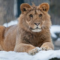 Молодой  лев :: Владимир Габов