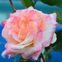 Розы :: Оксана Белова