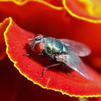 Макро муха :: Светлана Медведева