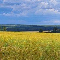 Жёлтое поле... :: Владимир Хиль