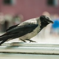 Ворона из Петропавловской крепости :: Алексей Кошелев