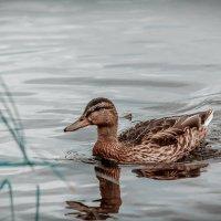 Duck :: Aleksandr Tishkov