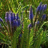 степные цветы :: Natalia Mihailova