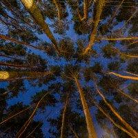 Ночь в сосновом лесу :: Anna Falcon