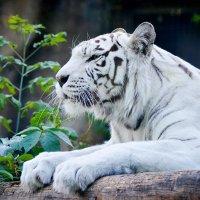 Белый тигр :: Денис Белов