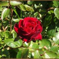 Прекрасная роза :: Вера