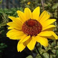 Heliopsis Summer Green :: laana laadas