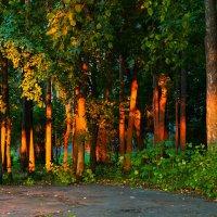 Закатное с соснами в парке :: Татьяна Губина