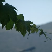 лоза винограда... в горах Крита :: Калмакова Марина