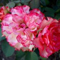 Розы августа...2 :: Тамара (st.tamara)