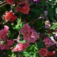 Цветочное лето! :: zoja