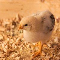 Chiken :: Flatcher