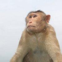 портрет обезьяны :: maikl falkon