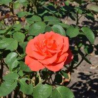 Роза в парке :: Agnivarshi Малтыз