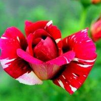 Мраморная роза. :: Валентина ツ ღ✿ღ