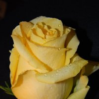 Желтая роза :: Галина Galyazlatotsvet