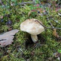 Белый гриб во всех смыслах :: Елена Павлова (Смолова)