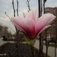 Тюльпановое дерево/кустарниковая магнолия :: ~ Елена М ~