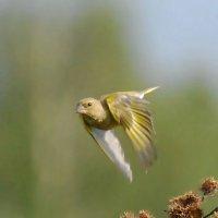 полет зеленухи :: sergej-smv