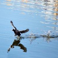 Бег лысухи по воде :: Nina Streapan