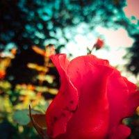 цветок :: Володя Корнеюк