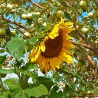 Подсолнух в яблоках :: galina tihonova
