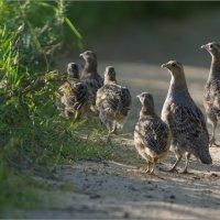 Семья серых куропаток :: Анна Солисия Голубева