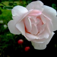 Роза :: Анатолий