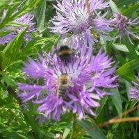 Пчела и шмель :: ЕЛЕНА КОЛЕСНИК