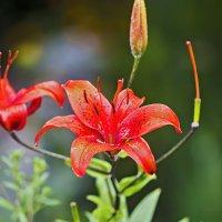 Красные лилии :: Анатолий Иргл