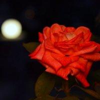 Роза :: Denis Pahomov