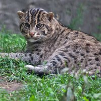 Виверровая кошка :: Владимир Габов