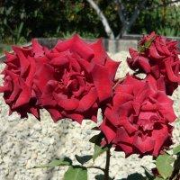 Розы :: Вера Щукина