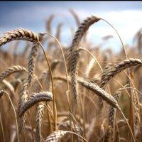 Пшеничка Золотая )) :: Ольга сташевски