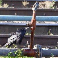 Ворона на станционном водопое. :: cfysx