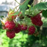 Солнечная ягода :: Наталья Джикидзе (Берёзина)