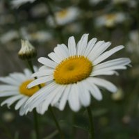ромашковое лето :: Виктория Коплык