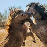 Дикие лошади :: olegup Olegs Patrejevs