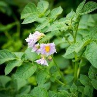 картофель в цвету :: Астарта Драгнил