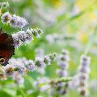 Мятная бабочка :: Марина Белецкая