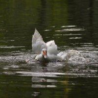Я тоже лебедь!.. :: Надежда Корнилова