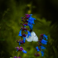 бабочка :: Deshmidt