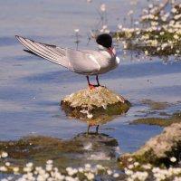 речная крачка :: linnud