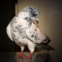 Канойский голубь :: Евгений Стрелков
