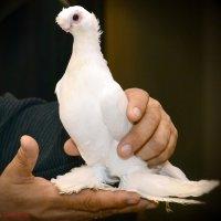 Узбекский голубь :: Евгений Стрелков