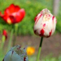 Тюльпаны :: Ксения Петрова