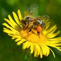 Пчела :: Геннадий С.