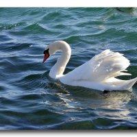 Белая птица не летит в небо... :: Ольга Голубева