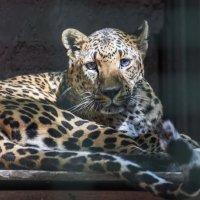 Леопард. :: ALLA Melnik