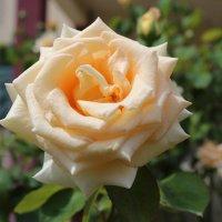 роза :: valeriy khlopunov